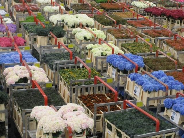 Billions-of-flowers-pass-through-the-Aalsmeer-Flower-Auction-in-the-Netherlands.jpg