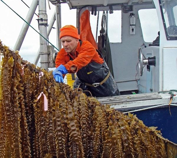 Bren-Smith-harvesting-kelp-at-his-Long-Island-3D-ocean-farm.jpeg