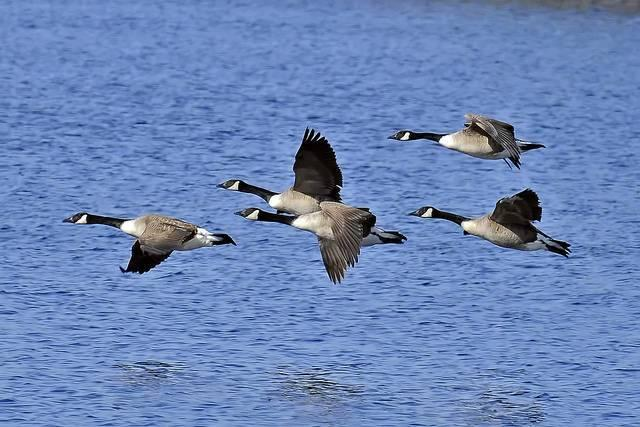 Canada-geese-are-inspiring-engineers-at-Boeing-and-NASA.jpg