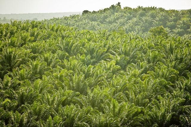 Cargill-has-been-accused-of-operating-undisclosed-palm-oil-plantations-like-this-one-in-Indonesia.jpg