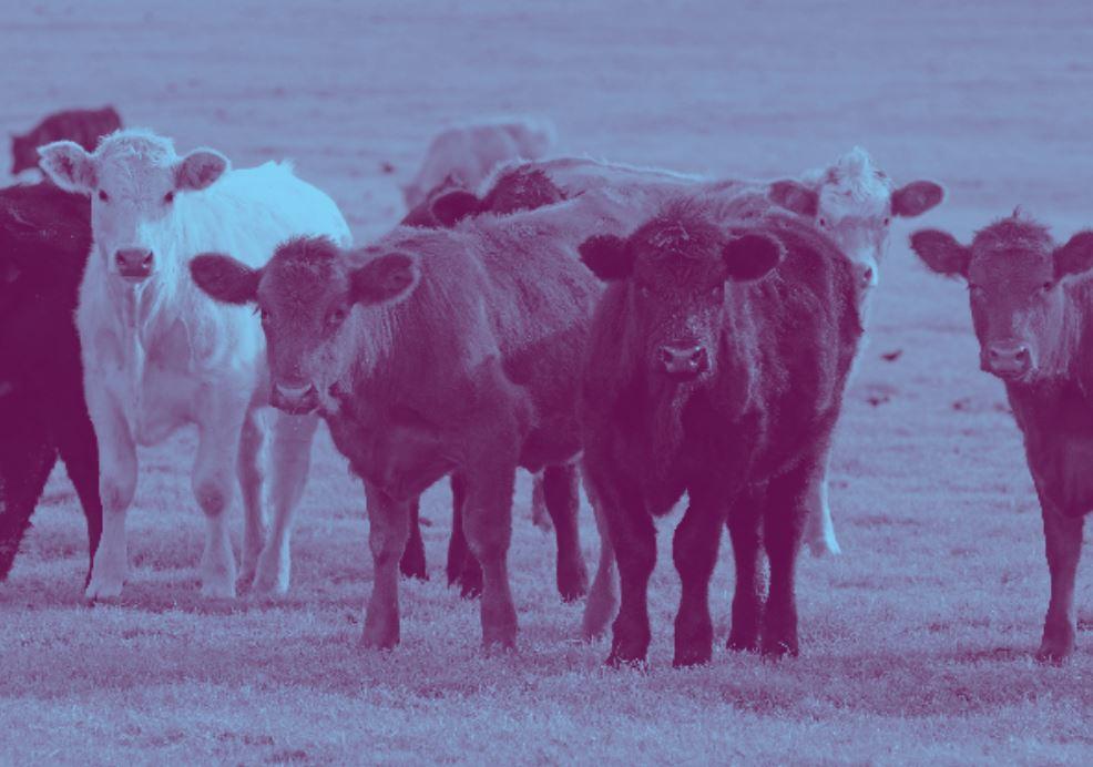 Cattle-Animal-Welfare-BBFAW.jpg
