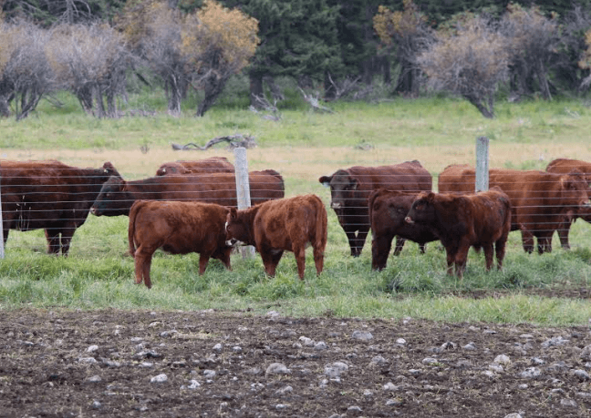 Cattle-at-a-ranch-in-rural-Alberta-Canada.png