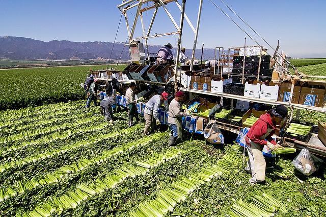 Celery-Farm-Salinas.jpg