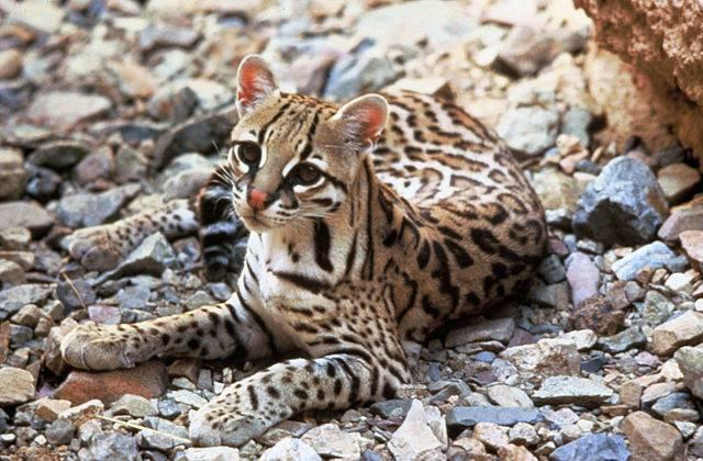 Center_for_Biological_Diversity_ocelot_FWS.jpg