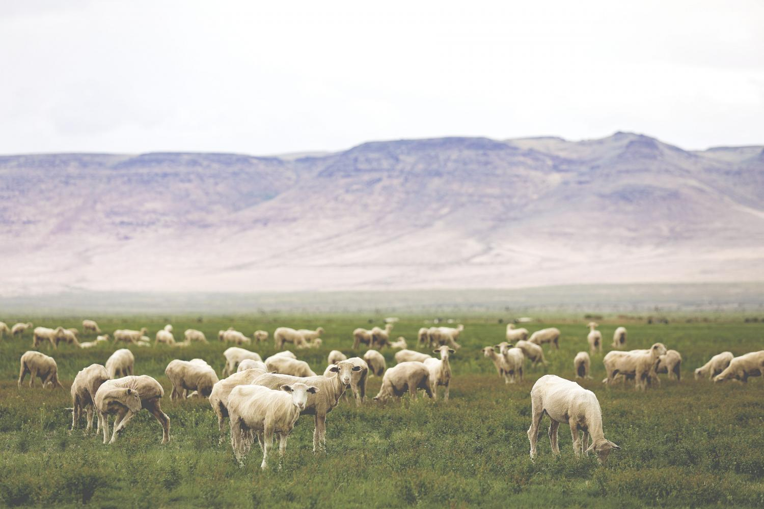 Climate-Beneficial-Sheep-in-Field_2-1.jpg