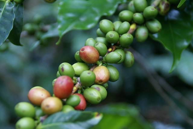 Coffee-beans-on-a-farm-in-Honduras.jpg
