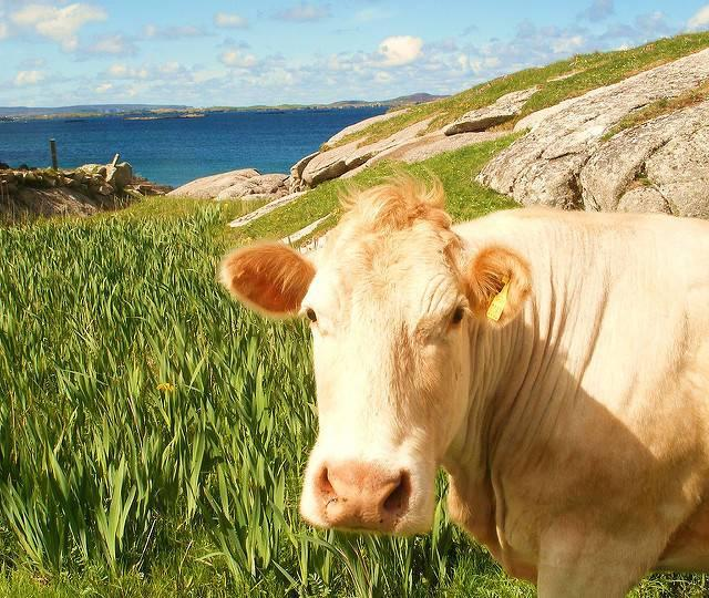 Happy-Cow.jpg