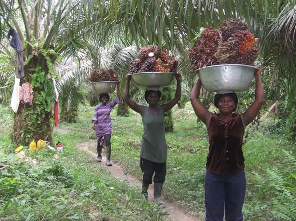 Harvesting-palm-fruit-in-Eastern-Ghana.jpg