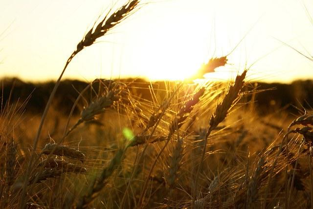 Improved-production-of-crops-such-as-wheat-can-mitigate-climate-change-says-a-new-study.jpg