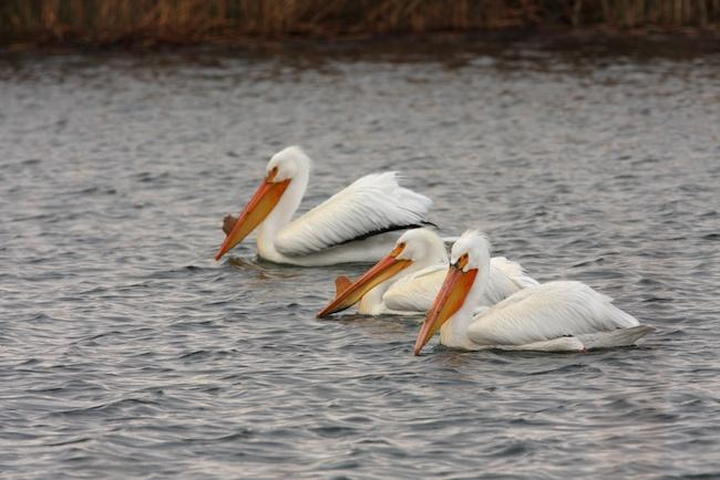Malheur-National-Wildlife-Refuge-pelicans.jpg