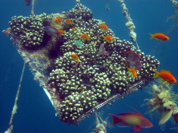 Mid-water_coral_nursery-Eilat5_small.jpg