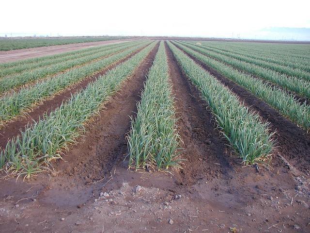 Monsanto_drip_irrigation_worldwaterweek.jpg