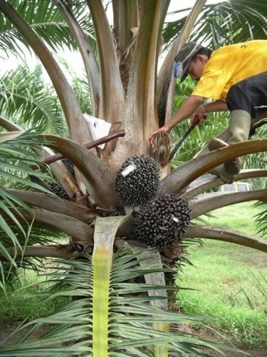 Palm-Oil-Harvesting.jpg