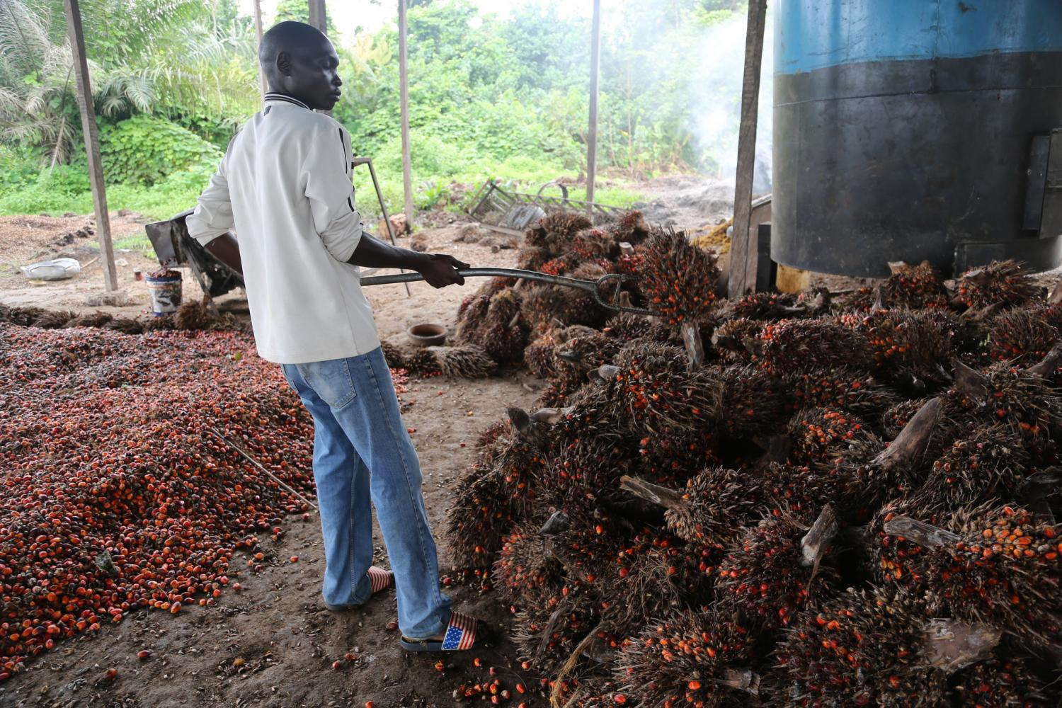 Palm-fruit-cultivation-in-Cameroon.jpg