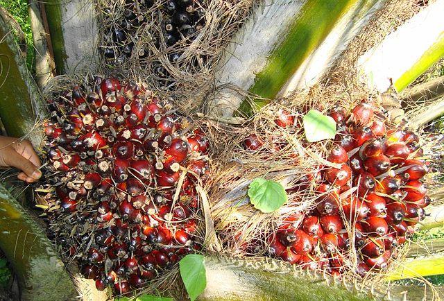 Palm-oil-fruit-close-to-harvest.jpg