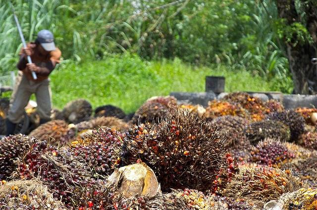 Palm-oil-fruit-harvested-and-ready-to-be-refined-into-oil.jpg