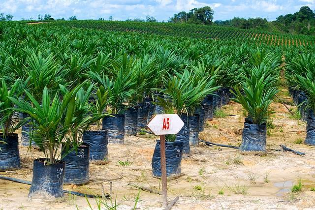Palm-oil-seedlings-at-a-plantation-on-Kalimantan-Indonesia.jpg