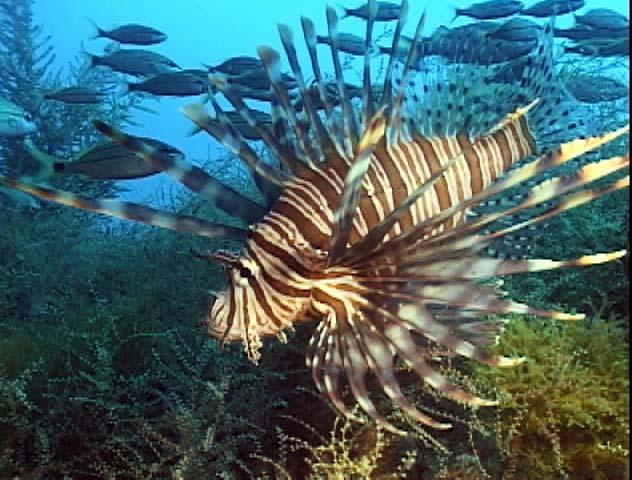 Red_lionfish_NCarolina_PaulaWhitfield.jpg