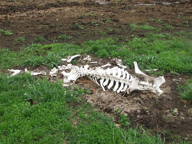 Researchers-in-Ethiopia-have-created-a-rich-fertlizer-out-of-cattle-and-other-bones.jpg