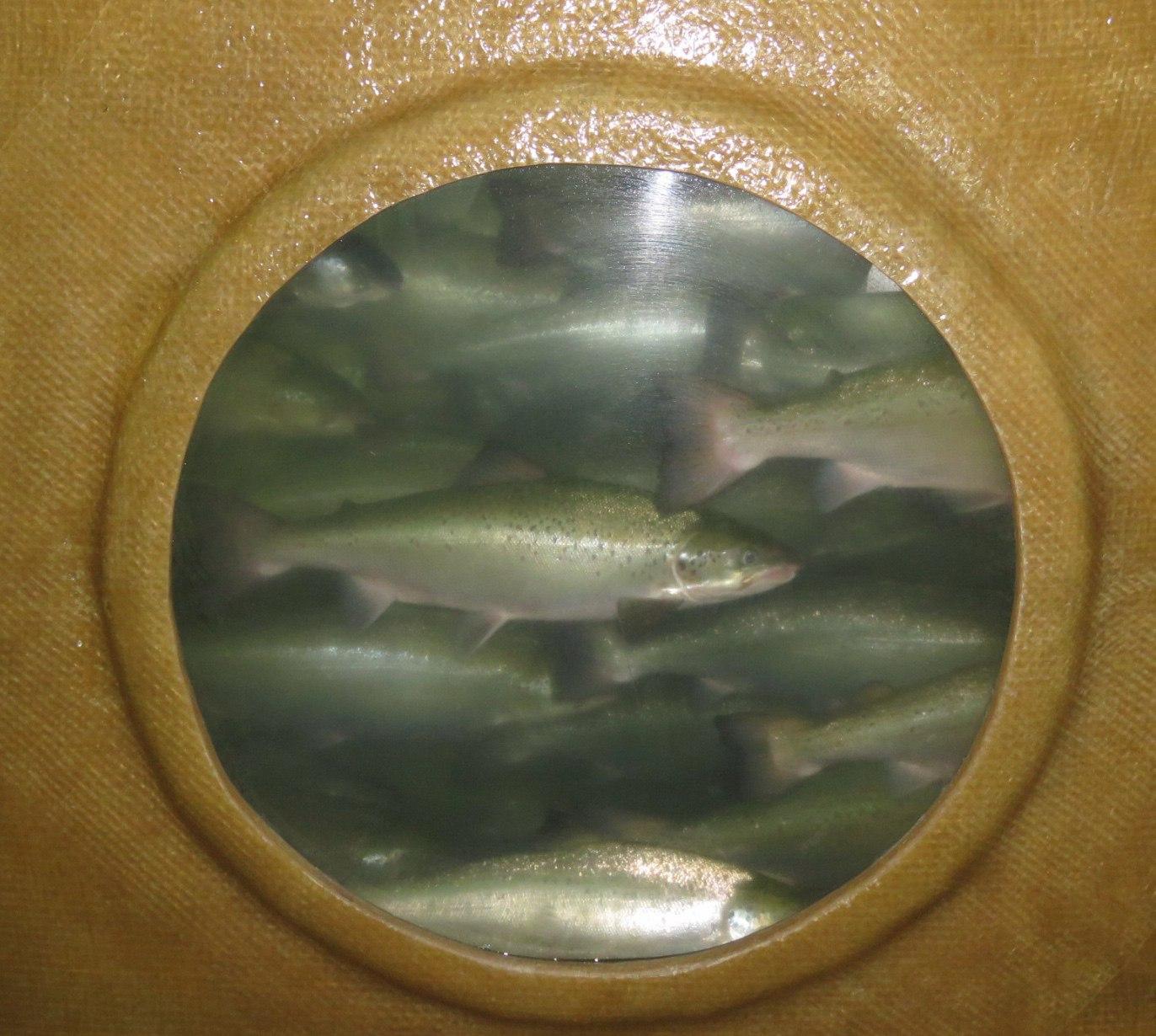 Salmon-in-tank.jpg