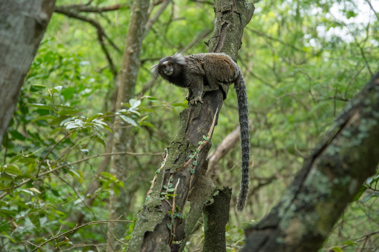 Saving Neglected Forests - Marmoset in the Atlantic Forest