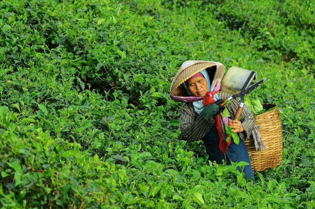 Tea-lady.jpg