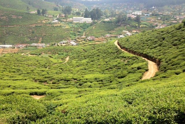 Tea-stretches-as-far-as-the-eye-can-see.jpg