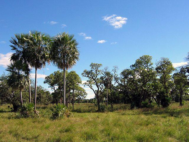 The-Gran-Chaco-in-Paraguay-is-disappearing-as-more-forest-is-cleared-to-raise-cattle.jpg