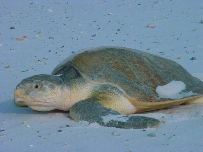 The-engendered-Kemps-ridley-sea-turtle-one-species-protected-by-the-new-Atlantic-ocean-monument.jpg