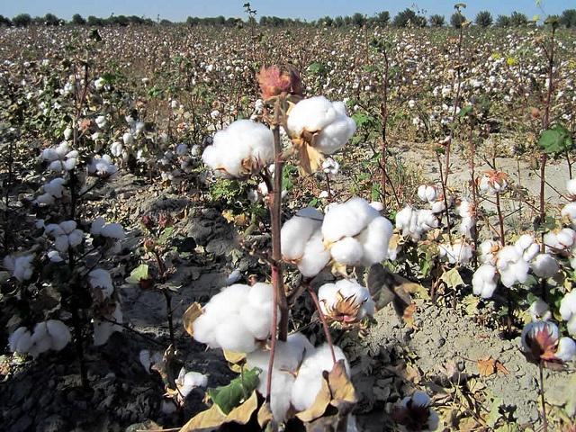 Uzbek-cotton.jpg
