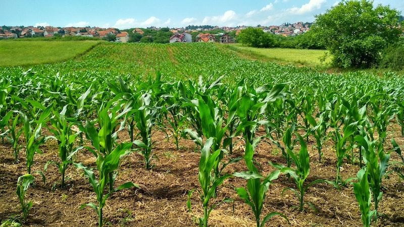 agriculture-corn-cornfield-1112080.jpg
