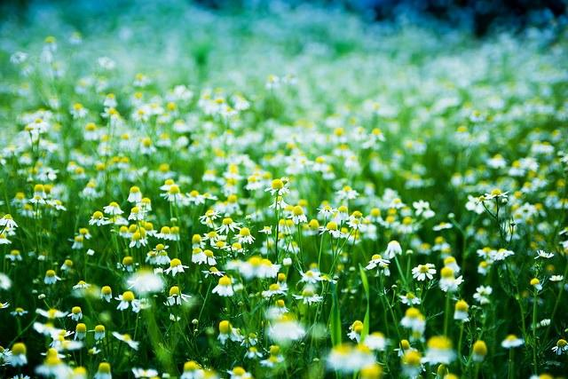 camomile_herbal_allergies_Joita_Gigi.jpg