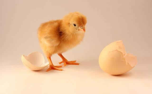 chicken-egg-circular-economy.jpg