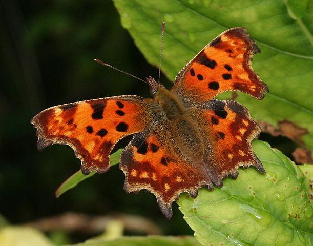comma_butterfly_PMatthews1231.jpg