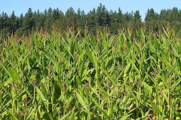 corn2JJ.jpg