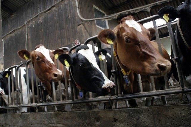 cows-552947_1280-e1444760729380.jpg