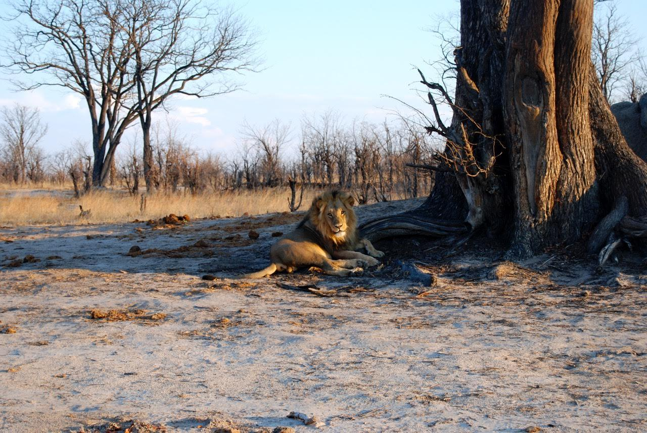 lion_kariba.jpg