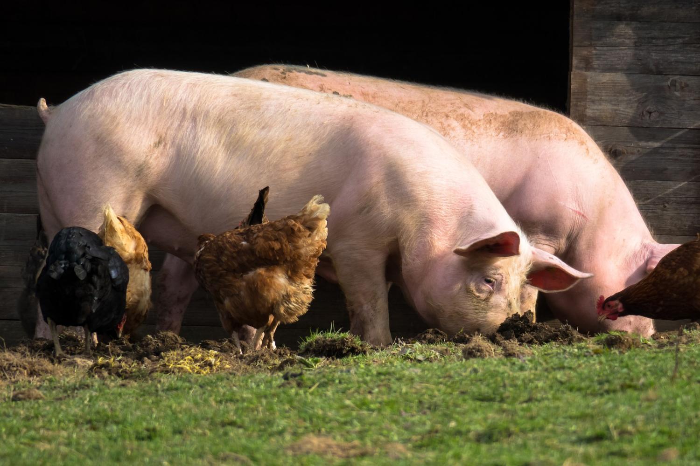 Niman Ranch sustainable livestock farming