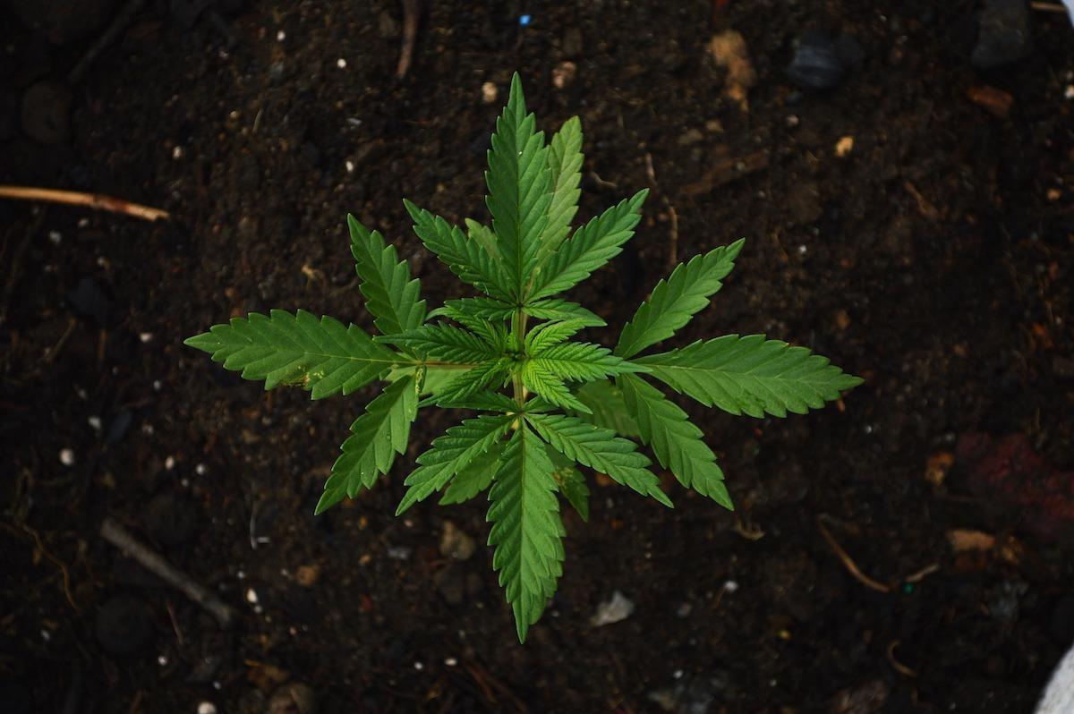 marijuana-plant.jpg