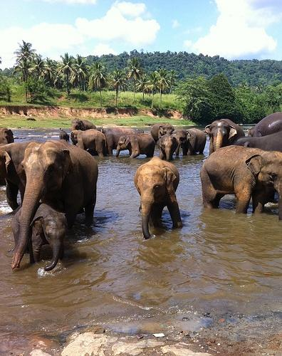 srilankaelephants.jpg
