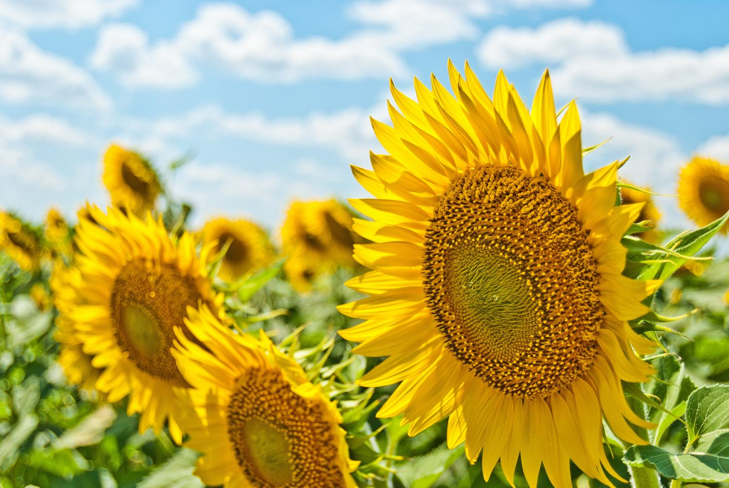 sunflower-farm.jpg