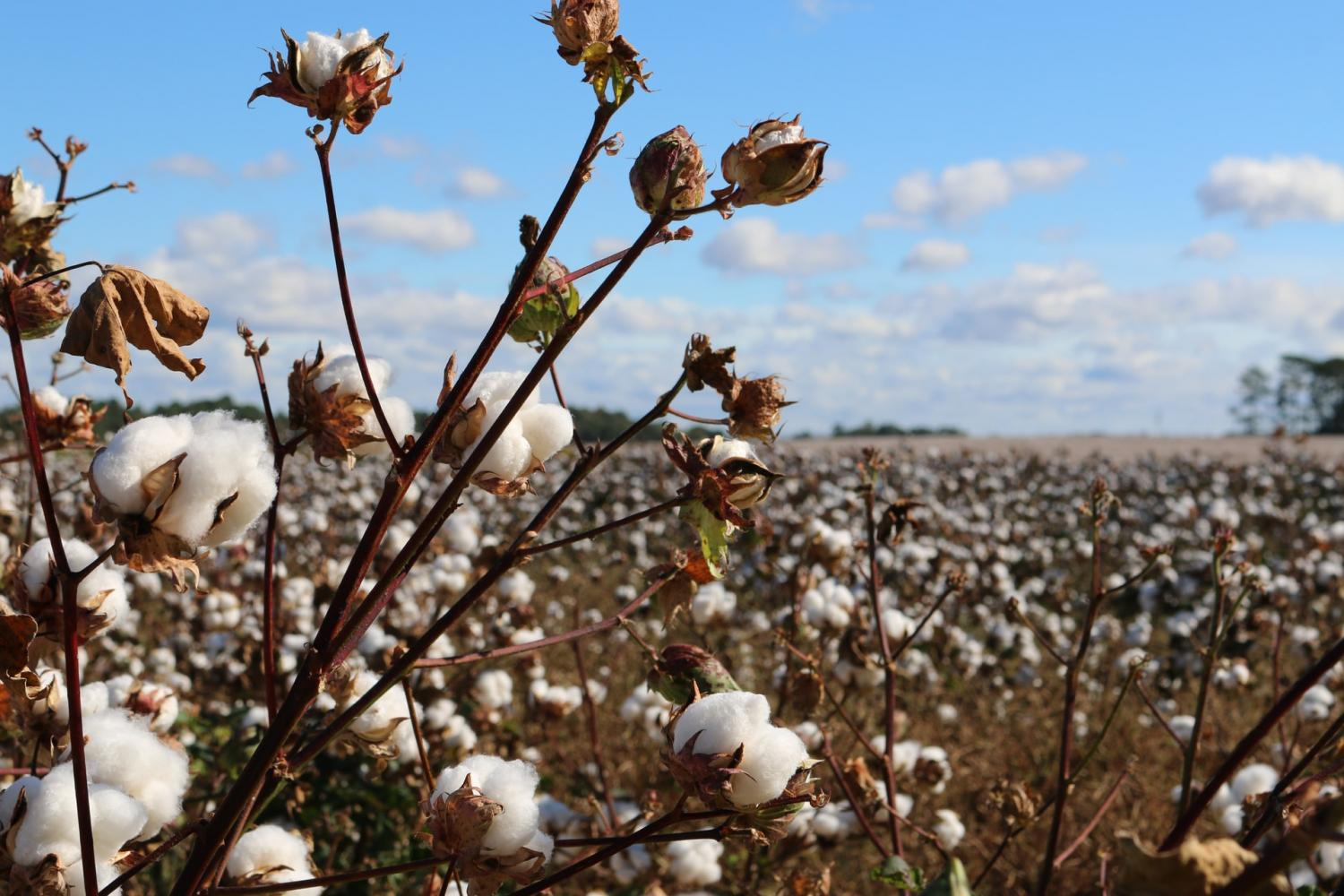 Sustainable Cotton