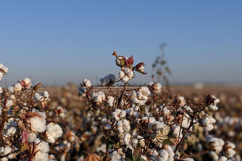 Sustainable Cotton