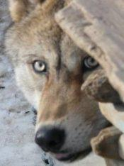 wildlife_wolf_shirleybin-e1494968315674.jpg