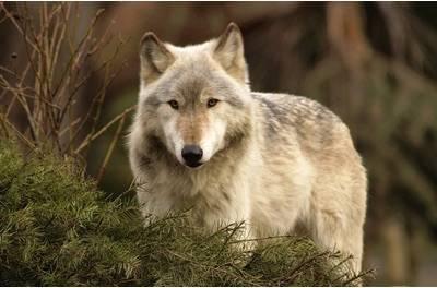 wolfJJ.jpg